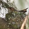 Allen's Hummingbird on Nest