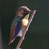 Allen's Hummingbird, Cascade Ranch, San Mateo County, 2-9-2013