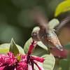 Immature Female Allen's Hummingbird in nectar garden
