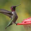 Anna's Hummingbird, Carr Canyon Residence, 30-Aug-2013