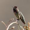 Anna's Hummingbird, Del Puerto Canyon, Stanislaus County, CA, 10-May-2014