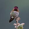 Anna's Hummingbird, Alum Rock Park, 30-March-2013