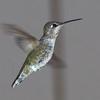 Anna's Hummingbird (female)