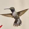 #1 (Purple) - Black-chinned Hummingbird (adult male)