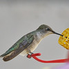 #5 (Orange) - Black-chinned Hummingbird