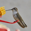 #8 (**) - Black-chinned Hummingbird