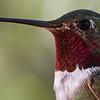 Broad-tailed Hummingbird at Beatty's