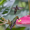 Green Hermit (Violet-fronted Brilliant in Front)