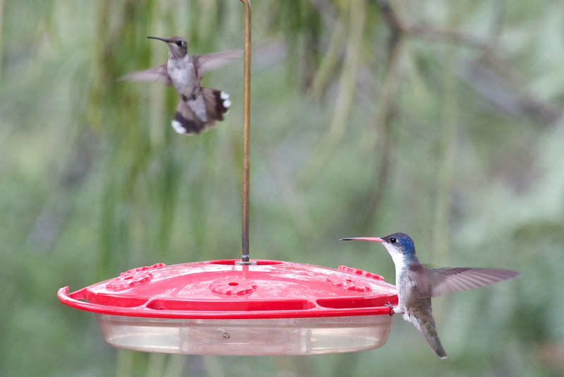 Violet-crowned Hummingbird at feeder in Dave Jasper's Yard in Portal, AZ