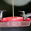 Violet-crowned Hummingbird (on left) and Broad-billed Hummingbird on right at Paton's