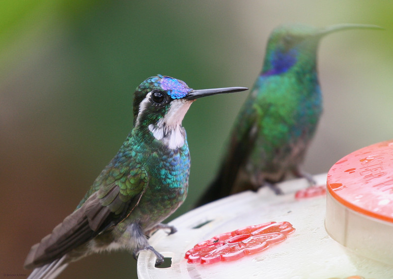 White-throated Mountain-gem with Green Violetear in background