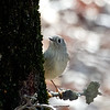 Ruby-crowned Kinglet at Cosumnes River Preserve