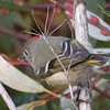 """Ruby""-crowned Kinglet"
