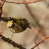 """Taking Off"" Ruby-crowned Kinglet"
