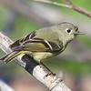 Ruby-crowned Kinglet, Cascade Ranch, San Mateo County, 2-9-2013