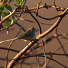 Ruby-crowned Kinglet on Woodbridge Road