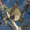 Ruby-crowned Kinglet, Colusa NWR, Colusa County, CA, 8-Dec-2013