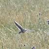 Calandra Lark in Flight Showing White Trailing Edge on Wings