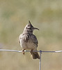 Crested Lark with Overgrown Bill