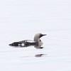 Arctic (Black-throated) Loon (Gavia arctica)