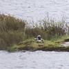 Black-throated Loon/Arctic Loon