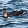 Arctic Loon at Monterey Harbor, 1-10-2013