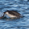 Arctic Loon diving under, at Monterey Harbor, 1-10-2013