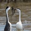 Western Grebes - Courtship Activity