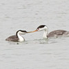Pretty 'interesting' photo - a Clark's Grebe (on the right), and a Western Grebe (on the left).  Are their beaks touching?