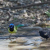 Green Jay with Red-winged Blackbird