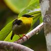 Golden-collared Manakin
