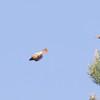 Possible Common Redstart?