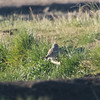 Burrowing Owl out in a field, Highway 162, Butte County, 19-Jan-2014