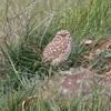 Burrowing Owl, Coyote Hills Regional Park, 6-March-2013