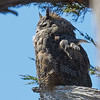 Great Horned Owl Sitting Low on a Branch near the Residence at the Fish Docks