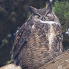 Great Horned Owl in the Trees at Chimney Rock, Pt Reyes National Seashore, 26-Oct-2013