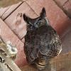 Great Horned Owl (male in barn)