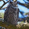Great Horned Owl #2 at Mendoza Ranch