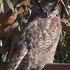 Great Horned Owl, Jepson Prairie, Solano County, 19-Jan-2014