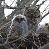 Great Horned Owl with Nestlings