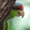 Red-crowned Parrot (captive)