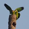 A Pair of Red-crowned Parrots