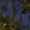 Yellow-headed Parrots