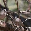 Inca Doves (captive)