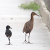 Clapper Rail Parent and Baby
