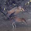 Clapper and King Rails Mating