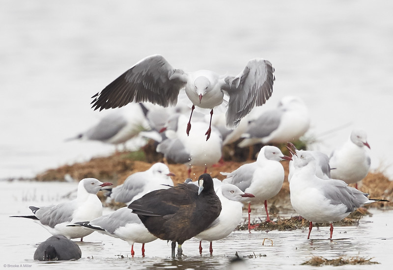 Gray-hooded Gulls and Red-knobbed Coot