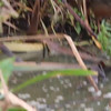 Video of Virginia Rail at Moonglow Dairy - 24-Oct-2009
