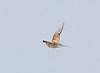 Pin-tailed Sandgrouse in Flight