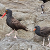 Oystercatchers - Adult and Juvenile, Pescadero State Beach, 7-Aug-2013